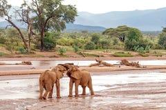 Two young elephant bulls play fighting. At Samburu National Reserve, Kenya royalty free stock image