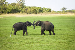 Two young elephant bulls Stock Image