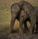 Young elephant calves playing in mud royalty free stock photography