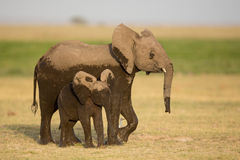 Two young elephants, Amboseli, Kenya Stock Photography