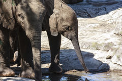 Two young Elephants drinking Stock Photos