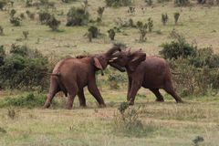 Two young elephants fighting on meadow in nature royalty free stock photos