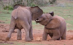 Two Young Elephants Friends Greeting Stock Images