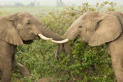 Two young elephants playing in Kenya. Two young elephants playing with their tusks and trunks in the Maasai Mara, Kenya royalty free stock photos