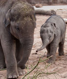 Two Young Elephants playing Royalty Free Stock Images