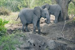 Juvenile Elephants on tour in Uganda Stock Photography