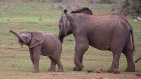 Two Young Elephants Friends Royalty Free Stock Image