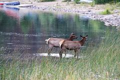 Two young elk calves in water with boats in the background Stock Images