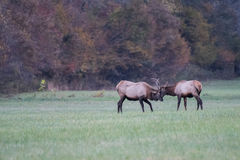 Two Young Elk Practice Sparring Stock Photography