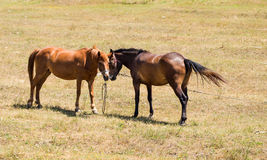 Two young embracing horses on the pasture. Stock Photography