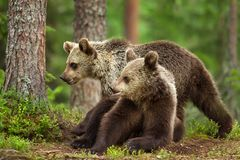 Two young Eurasian brown bears in forest stock photo