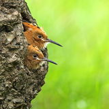 Two young eurasian hoopoes look from the hole Royalty Free Stock Photography
