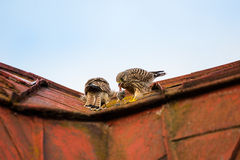 Two young falcons kestrels sitting and eating on a roof Royalty Free Stock Photos
