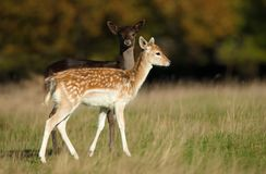Two young Fallow deer in the meadow. Two young Fallow deer grazing in the meadow, autumn in UK stock images