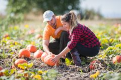 Two young farmers harvesting giant pumpkins at field - Thanksgiv Royalty Free Stock Photo