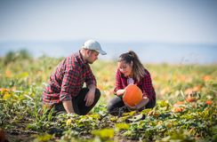 Two young farmers harvesting giant pumpkins at field - Thanksgiv Stock Photo