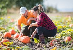 Two young farmers harvesting giant pumpkins at field - Thanksgiv Stock Image