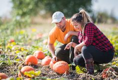 Two young farmers picking pumpkins for harvest at fields- Thanks Stock Image