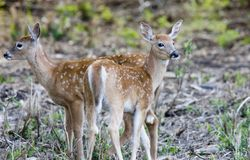 Two young fawn deer Stock Photos