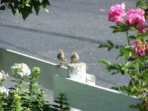 Two young female house sparrows Royalty Free Stock Photography