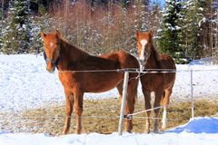 Two Young Finn Horses Royalty Free Stock Image