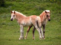 Two young foals. On a green meadow Stock Images