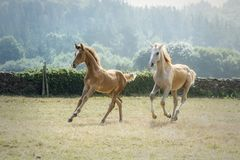 Free Two Young Foals Running Together In A Sunny Morning In A Meadow Stock Photos - 137788123
