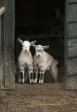 Two young four horned goats Stock Photos