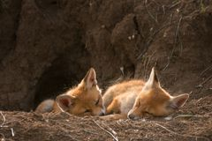 Two young Fox sleep near his hole.  Royalty Free Stock Photos