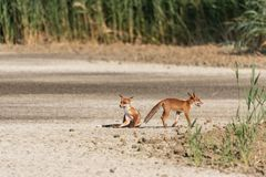 Two young foxes, one sitting, turn in the plain on a sunny day stock images