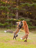 Two young foxes playfully wrestling royalty free stock photo