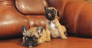 Two young french bulldog dog puppy puppies sitting on red sofa indoor. Funny dog baby stock video