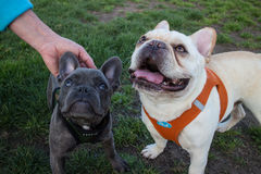 Two Young French Bulldogs, one Grey, One White, pause at a Dog r. Two Young French bulldogs pose ojn a dog run in Marin County, California. Free of their leashes Royalty Free Stock Image