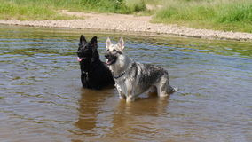 Two dogs stood in a river in England Royalty Free Stock Photos
