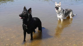 Two dogs stood in a river in England Stock Images