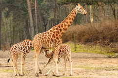 Two Young Giraffe Drinking From Mother Stock Photo