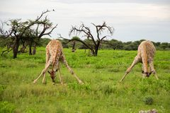 Two young giraffes Stock Photography