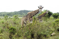 Two young Giraffes Royalty Free Stock Photos