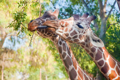 Two young giraffes eating from one branch Stock Photos