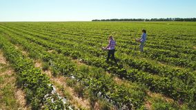 Two young girls are working at strawberry field. Two young girls gathering strawberries at the field. People are working under hot summer sun. Aerial view from stock footage