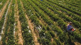 Two girls working at strawberry field, aerial view. Two young girls gathering strawberries at the field. People are working under hot summer sun. Aerial view stock footage