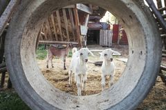 Two young goat kids playing in concrete tube on a farm. royalty free stock image