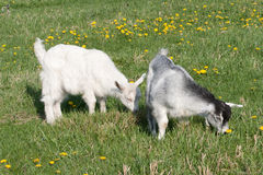 Two young goats Stock Image