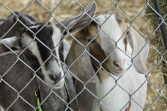 Two Young Goats Royalty Free Stock Image