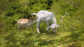 Two young goats eating grass on hill stock footage