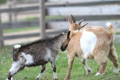 Two young goats at the farm. Two young goats fighting - the little one is hitting the other Royalty Free Stock Images