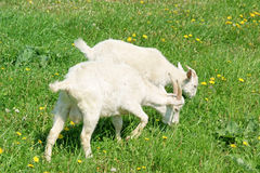 Two young goats grazing Stock Image