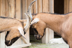 Two young goats play-fight with their heads at an animal farm. The domestic goat (Capra aegagrus hircus) is a subspecies of goat domesticated from the wild goat Stock Photo