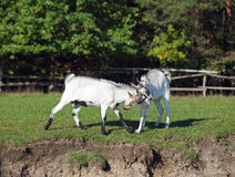 Two young goats play Royalty Free Stock Photo