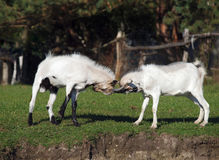 Two young goats play Royalty Free Stock Photos
